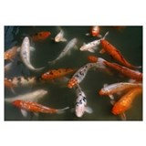 Goldfish (Carassius auratus) school swimming in po