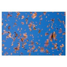 Monarch (Danaus plexippus) butterflies flying duri