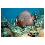 A Gray Angelfish in the shallow waters off the coa