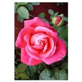 Red Rose blossom Wall Art