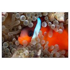 Cinnamon Clownfish in its host anemone