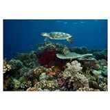 Hawksbill turtle glides over the pristine reefs in