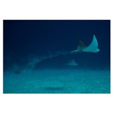 Spotted Eagle Rays glide effortlessly through the