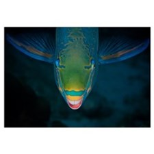 Queen Parrotfish feeding on algae