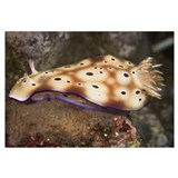 Nudibranch feeding on algae, Papua New Guinea