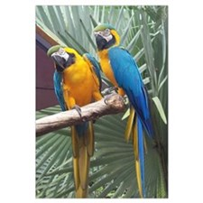 Funny Blue and gold macaw Wall Art