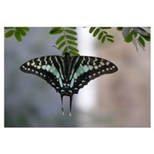 Blue Swallowtail Butterfly (Wall Art)