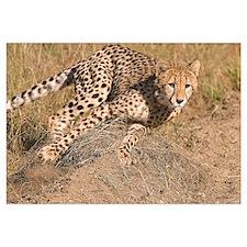 Cheetah On The Move Wall Art