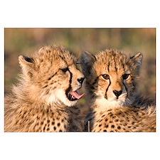 Cheetah cubs Wall Art