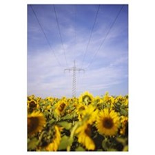 Power lines over a sunflower field, Baden-Wurttemb