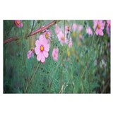 Close-up of Cosmos (Cosmos bipinnatus) flowers, We