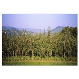 Apple trees in an orchard, Weinsberg, Heilbronn, S