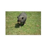 Pot Bellied Pig Rectangle Magnet (100 pack)
