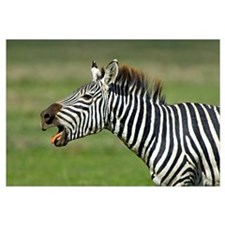 Side profile of a zebra braying, Ngorongoro Conser