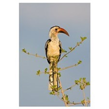 Low angle view of a Red-billed hornbill perching o