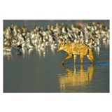 Side profile of a Golden jackal wading in water, N