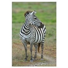 Zebra standing in a field, Ngorongoro Conservation