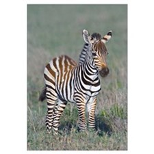 Young zebra standing in a field, Ngorongoro Conser
