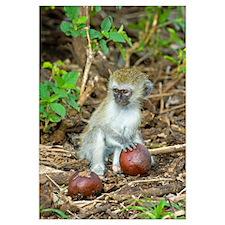 Vervet monkey holding a seed pod, Tarangire Nation