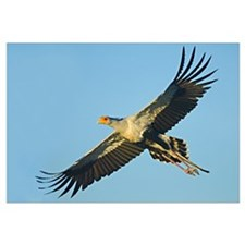 Low angle view of a Secretary bird flying, Ngorong