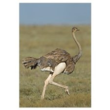 Side profile of an Ostrich running in a field, Ngo
