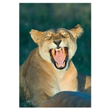 Close-up of a lioness roaring, Ngorongoro Conserva
