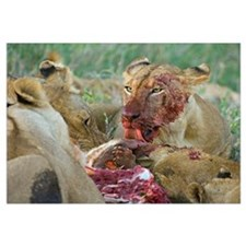 Four lioness eating a kill, Ngorongoro Conservatio