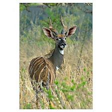 Lesser kudu standing in a forest, Tarangire Nation
