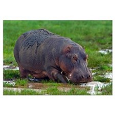 Close-up of a hippopotamus, Lake Manyara, Arusha R