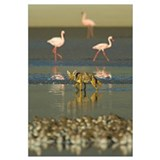 Three flamingos and a Golden jackal (Canis aureus)