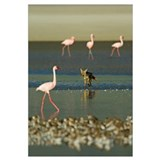 Four flamingos and a Golden jackal (Canis aureus)