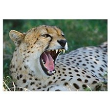 Close-up of a cheetah yawning, Ngorongoro Conserva