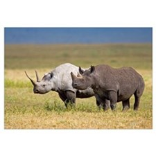 Side profile of two Black rhinoceroses standing in