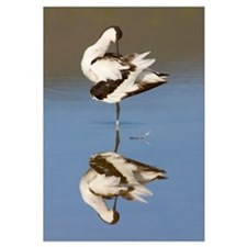 Side profile of an avocet standing in a lake, Ngor