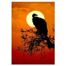 Silhouette of a Vulture perching on a tree, Masai