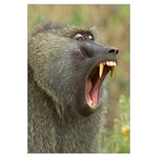 Close-up of an Olive Baboon (Papio Anubis) yawning