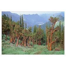 Colorado, Bristlecone pine tree on the landscape