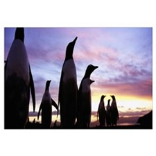 Silhouette of a group of Gentoo penguins, Falkland