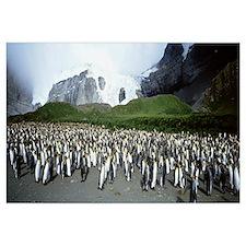 King Penguins, Gold Harbor, South Georgia Island,