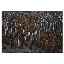 High angle view of a colony of King penguins, Sali