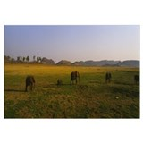 Elephants grazing in a field, Lake Kariba, Zimbabw