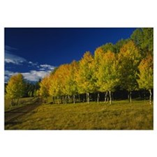 American Aspen trees in a forest, Terry Flat Loop,