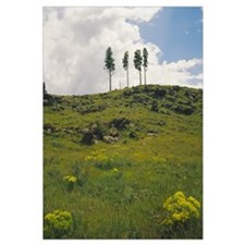 Four ponderosa pine trees on a hill, Coconino Nati