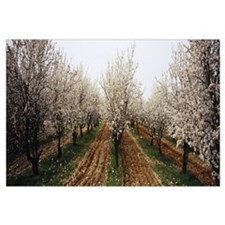 Almond trees in an orchard, Syria