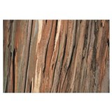 Close-up of a tree bark, Eucalyptus tree, San Rafa