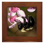 Bee dangling from Judas-tree flowers Framed Tile