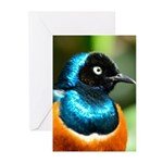 Superb Starling Greeting Cards (Pk of 20)