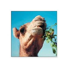 "Camel Square Sticker 3"" x 3"""