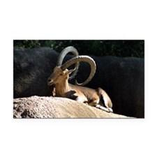 Nubian Ibex showing off his good side Rectangle Ca