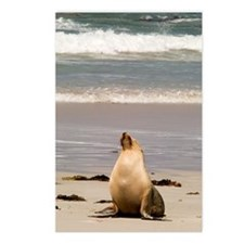 Australian Sea Lion Postcards (Package of 8)